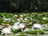 clusters-of-white-water-lily-blossoms