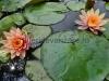 nuferi-portocalii-2 - Copy